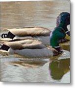 Two Mallards Swimming Quietly Metal Print