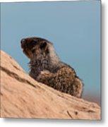 Hoary Marmot On Blue Metal Print