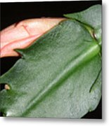 Holiday Cactus - Budding Metal Print