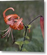 Homestead Tiger Lilly Metal Print
