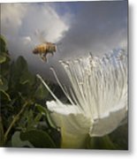 Honey Bee Apis Mellifera Approaching Metal Print by Mark Moffett