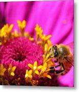 Honey Bee Pollinating Zinnia Metal Print