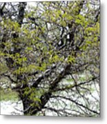 Honey Locust Tree On A Spring Snow Day Metal Print