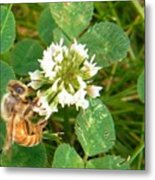 Honeybee Drinking From Clover Bloom   Summer  Indiana Metal Print
