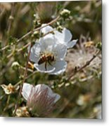 Honeybee Gathering From A White Flower Metal Print