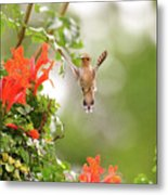Honeysuckle Hummer Metal Print