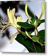 Honeysuckle Metal Print