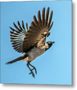 Hooded Crow In Flight Metal Print