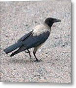 Hooded Crow Metal Print