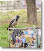 Hooded Crow With Garbage Metal Print