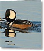 Hooded Merganser And Eel Metal Print