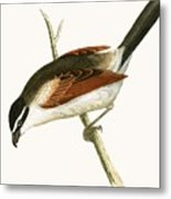 Hooded Shrike Metal Print