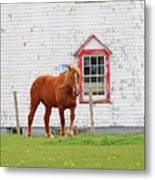 Horse At Panmure Island Lighthouse 5756 Metal Print