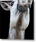 Horse Pulling Face Metal Print by Peter Meade