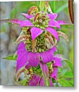 Horsemint On Trail To North Beach Park In Ottawa County, Michigan Metal Print