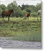 Horses On Ireland's River Shannon Metal Print