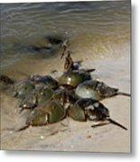 Horseshoe Crabs Metal Print