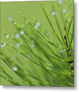 Horsetail With Dew Metal Print