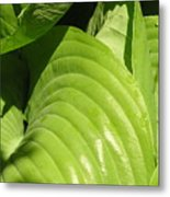 Hosta Curls Metal Print