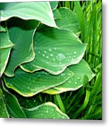 Hosta Leaves And Waterdrops Metal Print