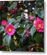 Hot Pink Camellias Glowing In The Shade Metal Print