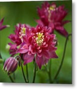 Hot Pink Columbine Metal Print