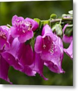 Hot Pink Foxglove Metal Print