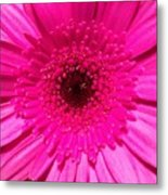 Hot Pink Gerbera Metal Print