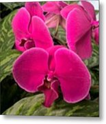 Hot Pink Orchids Metal Print