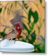 House Finch - 2 Metal Print