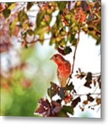House Finch Hanging Around Metal Print