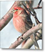 House Finch In An Apple Tree Metal Print