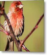 House Finch In Full Color Metal Print
