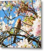 House Finch In The Cherry Blossoms Metal Print