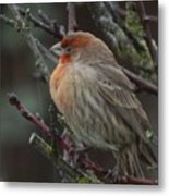House Finch On A Rainy Day Metal Print