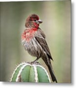 House Finch Perched On Cactus  Metal Print