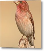House Finch With Crest Askew Metal Print