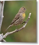 House Finch With Yellow Breast 1  Metal Print