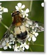 Hoverfly Leucozona Lucorum Metal Print
