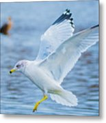 Hovering Seagull Metal Print