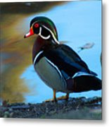 How Much Wood Could A Wood Duck Chuck Metal Print