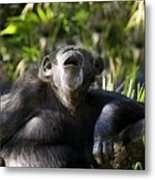 Howling Chimpanzee Metal Print