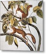 Hudsons Bay Squirrel Metal Print