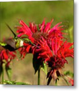 Hummer In The Bee Balm Metal Print