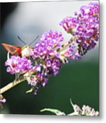 Humming Bird Moth Metal Print