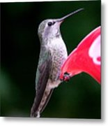 Hummingbird 23 Metal Print