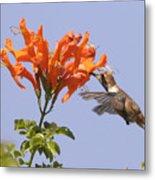 Hummingbird And Honeysuckle Metal Print