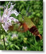 Hummingbird Clear-wing Moth At Monarda Metal Print