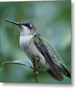 Hummingbird Close-up Metal Print