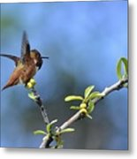 Hummingbird Feeling Frisky 1 Metal Print